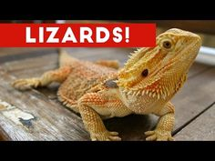 Funniest Lizard & Reptile Blooper & Reaction Videos of 2017 Weekly Compilation | Funny Pet Videos -  #birds #animals #bird_watchers_daily #animal #birdwatching #pets #nature_seekers #birdlovers Dog Training – The Perfect Pooch System!  Click HERE! This all lizard and reptile weekly comp from Funny Pet Videos is filled with hilarious bloopers and reaction shots from the funniest lizards... - #Birds