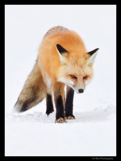 Fox in the snow in Yellow stone Park by Tin Man Lee