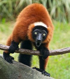Red Ruffed Lemur This exquisitely coloured species is critically endangered and part of its habitat. Madagascar, Primates, Mammals, Types Of Animals, Cute Animals, Flying Lemur, Orangutan, Fauna, Endangered Species