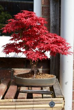 Stephen's bonsai trees   por mariusz.and