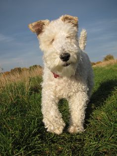 the Wire Fox Terrier
