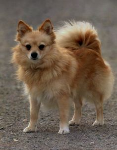 #VetsNorthSomerset The Klein German Spitz was developed in Northern Germany, and references to him can be found as early as 1450.
