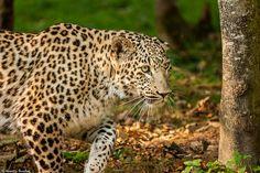 Panthère de Perse. #animal