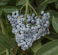 Elderberry Berries (Sambucus Spp.) in Ontario can colonize rapidly so plant this important species with other serious competition like evergreens and Honey Locust.