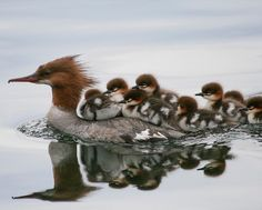 """15.9k Likes, 199 Comments - National Audubon Society (@audubonsociety) on Instagram: """"Female Common Mergansers protect their young for several weeks even though they can catch their own…"""""""