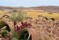 Welwitschia, Namibia/ Вельвичия, Намибия