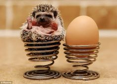 Are these just the cutest thing ever?? African Pygmy Hedgehogs! www.cherishedtrinkets.co.uk/blog