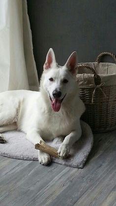Daiko, great white Swiss shephard