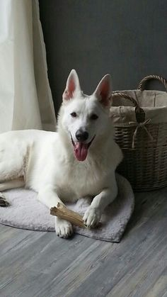 Daiko, great white Swiss Shepherd