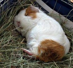 Sleepy Guinea pig.