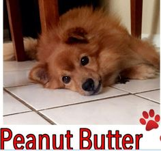 Meet Peanut, an adoptable Pomeranian looking for a forever home. If you're looking for a new pet to adopt or want information on how to get involved with adoptable pets, Petfinder.com is a great resource.