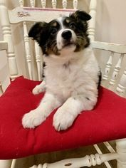 Australian Shepherd Puppy For Sale In Purdy Mo Usa Australian