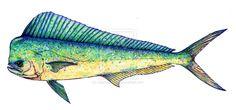 Mahi Mahi Fish Drawing Scientific illustration 414 by