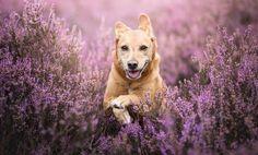 Golden retriever, dog, run, meadow, 4k wallpaper