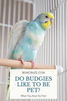 Do Budgies Like To Be Pet? What You Must Do First Beak Craze – parakeetcage Parakeet Care, Budgie Parakeet, Budgies Care, Parakeets, Parrots, Zoo Animals, Cute Animals, English Budgie, Reptiles