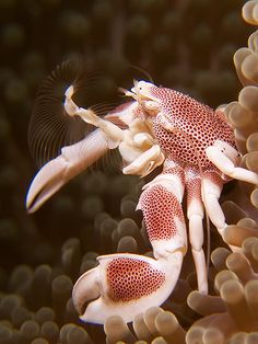 Anemone Porcelain Crab - #Photograpic #Safaris available @ www.dreamscopehunting.com