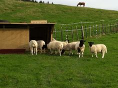 Our Dorper sheep checking out their new home.