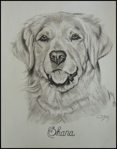 dessin de golden retriever