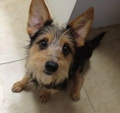 Wawa is an adoptable Yorkshire Terrier Yorkie Dog in Orlando, FL. Meet Wawa! Wawa is a 2 year old, 11 pound male yorkie/chi mix boy.  Like his name implies, Wawa is a goose…a sweet, silly goose with b...