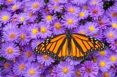 monarch butterfly on aster flower | Monarch butterfly (Danaus plexippus) nectaring on blooming aster ...