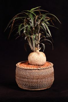 Euphorbia Waringiae pot et plantes Julien Hanazono