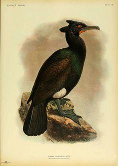 Spectacled Cormorant  Extinct birds  London :Hutchinson,1907.  biodiversitylibrary.org/page/38665799