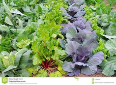 Winter Vegetable Garden | Stock Photos: Winter Vegetable Garden