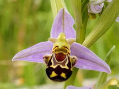 Orquídea abeja (Ophrys apifera) Somehow evolution feels this is the most fit appearance to attract this orchids specific insect to pollinate and procreate. #beautifulflowersunique