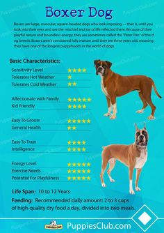 boxer dog Top 10 Boxer Dog Facts Surprizing Things You Should Know