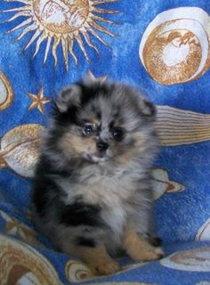 blue merle pomeranian - looks like Jack Jack! Blue Merle Pomeranian, Pomeranian Puppy, Sheltie, Puppys, Beautiful Dogs, Pom Poms, Adorable Animals, Puppy Love, Animal Pictures