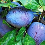 How to prune plums: plums, plums, mirabelles – Nature Beauties Prune Plum, Garden Park, Fruit Plants, Nature Tree, Flora, Home And Garden, Gardening, Beauty, Garden