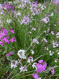 Julienne des Dames Pink Perennials, Tattoos For Women Flowers, Plants, Plant, Planets