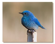 The blue bird is a widely accepted symbol of cheerfulness, happiness, prosperity and health. Wishing everyone a little happiness.