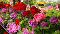 Ebből csak egyetlen csepp kell a muskátlira: virágözön lesz az eredmény Outdoor, Plants, Garden Plants, Flowers, Orchids, Garden Planning, Garden