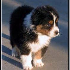 Black Tri Australian Shepherd puppy