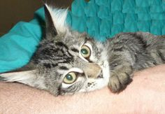 .Mount Vernon, OH. Amy. URGENT! Maine Coon • Adult • Female • Medium. Knox County Humane Society. UPDATE: ADOPTED!