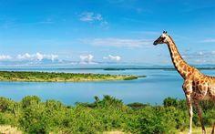 giraffe, summer, river, Nile, Africa