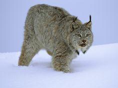 Stalking Canada Lynx Wallpaper Big Cats Animals Wallpapers in jpg