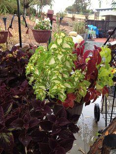 My Coleus in my garden. September 27, 2014