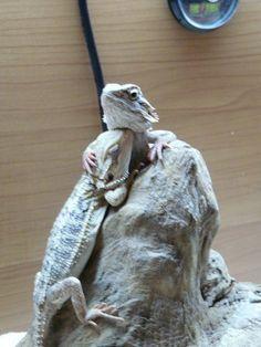 Bearded Lizard Snuggle