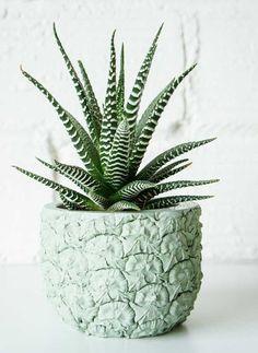 Plantas para ter em apartamento com animais: Suculenta Zebra ou Haworthia Fasciata