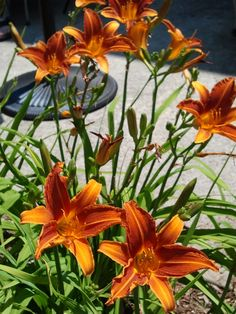 daylilies- this flower grows very well here- we have orange, burgundy and yellow stripe, and planted some pinks two years ago.