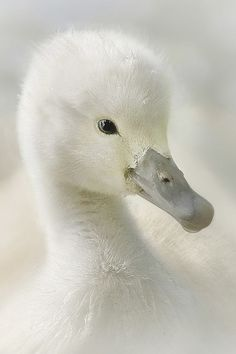 Photo Baby swan by JokeHulst on Farm Animals, Animals And Pets, Cute Animals, Beautiful Birds, Animals Beautiful, Baby Swan, Swans, Tier Fotos, Mundo Animal