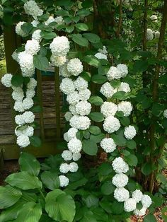 La belleza de las hortensias en tu jardín y hogar Gorgeous climbing hydrangea is a deciduous vine that is perfect for climbing up shady trees, pergolas and arbors. Grows in part sun to shade and blooms in early summer. Vine may take years to bloom afte Garden Shrubs, Shade Garden, Garden Landscaping, Landscaping Ideas, Hydrangea Landscaping, Shade Landscaping, Luxury Landscaping, Landscaping Software, Climbing Hydrangea