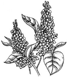 Printable Flower Coloring Pages, Coloring Pages For Kids, Flowering Shrubs, Lilac Flowers, Online Coloring, All Art, Embroidery Designs, Drawings, Sky