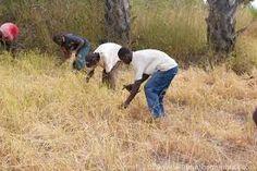 Risultati immagini per rice harvesting containers Africa