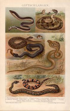 Venomous Snakes Antique Lithograph 1898 Vintage by Craftissimo, €15.95