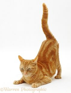 Photograph of Ginger tabby female cat, Lucky, with rear end and tail in air after enjoying being stroked. Rights managed white background image. Cat Expressions, Cat Anatomy, Cat Bedroom, Cat Reference, Kitten Photos, Warrior Cats Art, Cat Pose, Orange Tabby Cats, Cat Photography