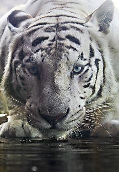 Tigre blanc le plus belle animal au monde a mes yeux