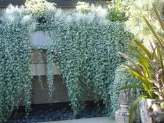 "Best sun tolerant plants: Silver falls dichondra shimmers and cascades. his trailing plant is a silvery blue-green. It's hard to believe that something so enchanting could be heat- and drought-tolerant! While ""Silver Falls"" (also known as ""silver ponyfoot Full Sun Plants, Sun Loving Plants, Design Jardin, Garden Design, Container Plants, Container Gardening, Silver Falls Plant, Silver Falls Dichondra, Drought Tolerant Garden"